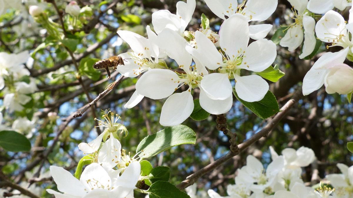 honey bee and apple blossom Vandehoney