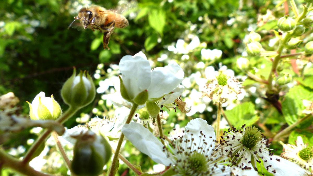 Honey bee feeding on blackberry blossoms